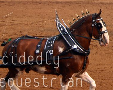 Draft Horse Classic 2014 Clydesdale single hitch