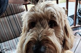 DIY Dry Shampoo for Dogs from Decidedly Equestrian